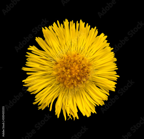 Fototapeta  coltsfoot flower isolated on black background