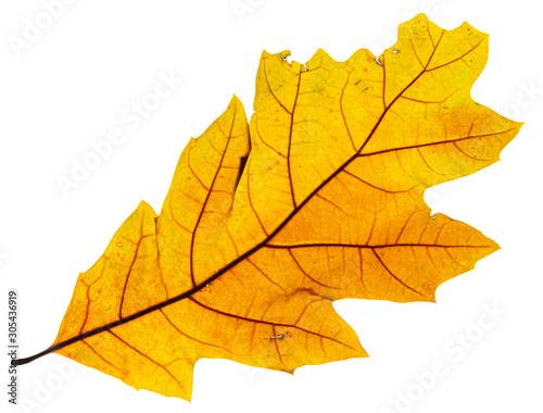 Gran foglia gialla secca retroilluminata con sfondo bianco Canvas-taulu