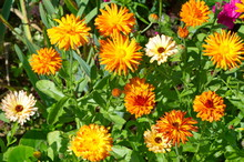 Bright Flowers Of Calendula Officinalis In The Summer Garden