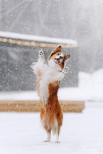 Border Collie Dog Standing On Hind Legs In The Snow