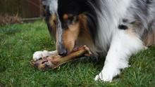 Dog Is Eating A Big Bone,dog, ...