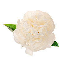 White Blooming Peony Without A Background