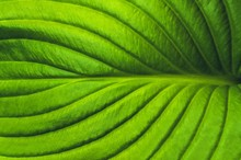 Big Green Leaf Close-up Textur...