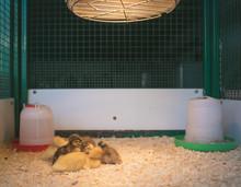 Birds Huddled Under Heat Light