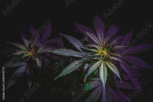 Leinwand Poster top of the inflorescence of the cannabis plant, marijuana leaves against a dark