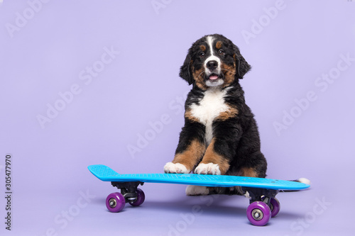 Photo Cute bernese moutain dog puppy on a skateboard on a purple background