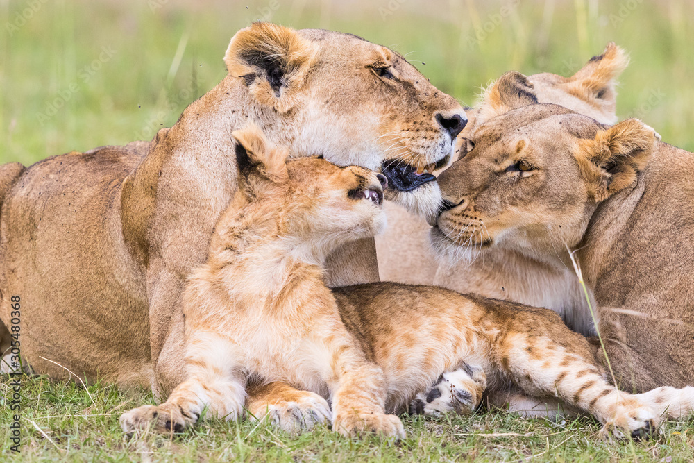 Fototapeta Lion Flock with a playful cub rests on savannah