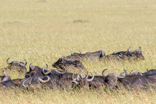 African Buffalos Lying Down In The Savanna Grass