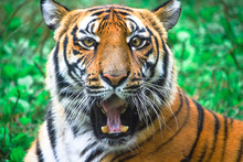 Funny Portrait Of Bengal Tiger