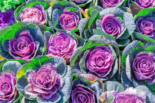 Papiers peints Cactus 紫の葉ぼたん