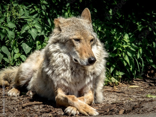 A she-wolf is resting among the bushes. Canvas-taulu