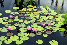 Pink Water Lily Flowers And Br...