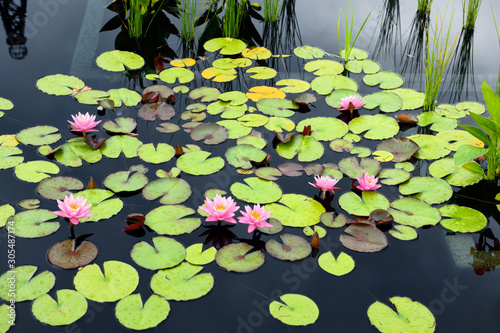 Obraz na plátně Pink water lily flowers and bright lily pads on dark reflecting pool at Hendrie