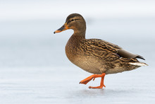 Female Dabbling Duck Walking O...