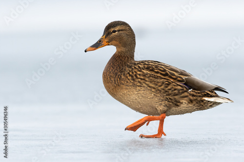 Female dabbling duck walking on ice winter with one leg in the air Fototapeta
