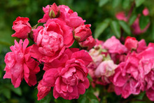 Pink Peace Rose Bush Cluster O...