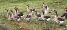 Gaggle Of Domestic Geese Near ...