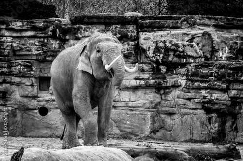 Grayscale shot of a cute elephant taking a walk in the middle of a forest Wallpaper Mural