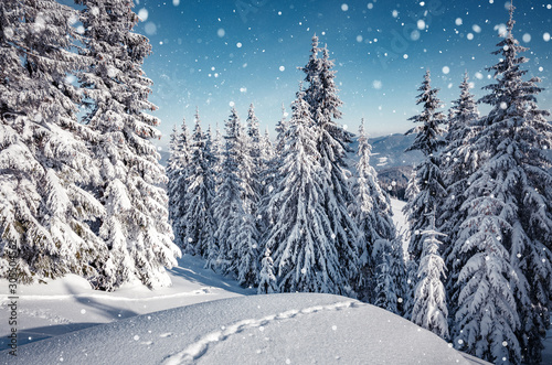Foto auf AluDibond Grau Awesome Winter nature landscape. Scenic image of fairy-tale woodland in sunlit at winter. Majestic frozen pine trees under sunlight at Alpine highland with snowfall. Wonderful Natural background.