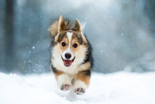 Welsh Corgi Pembroke Puppy Run...