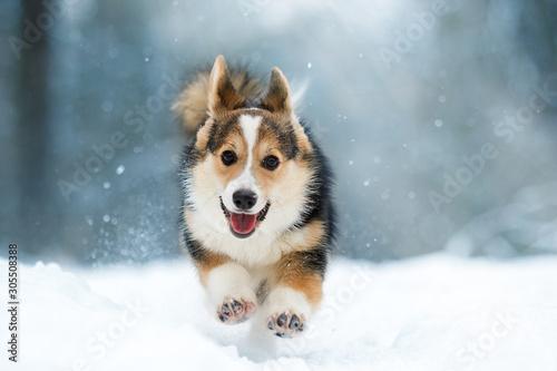 Obraz welsh corgi pembroke puppy running in the snow - fototapety do salonu