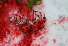 Red Rowan Berries On Red Snow,...