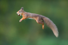 Jumping Red Squirrel Carrrying...