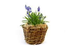 Flowering Common Grape Hyacint...