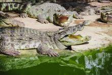 Crocodile Types Of Amphibians ...