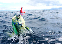 Perfect Shot Of A Male Mahi Mahi Or Dolphin Fish Jumping