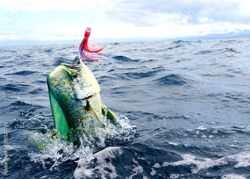 Perfect shot of a male Mahi Mahi or Dolphin fish jumping Wallpaper Mural