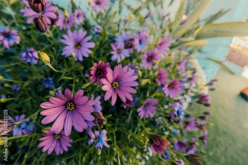 Foto auf Leinwand Blumenhändler Closeup shot of a bush of beautiful pink African daisies on blurred background