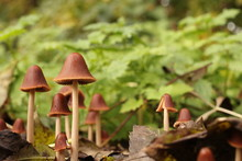 Little Brown Mushrooms And Green Nettles In The Background In The Forest In Autumn