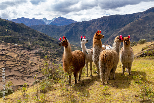Poster Lama Llamas on the trekking route from Lares in the Andes.