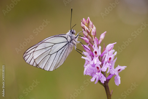 Photo Close up of a black-veined white butterfly (Aporia crataegi) posed on a pink orchid (Dactylorhiza fuchsii)