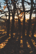 Bare Oak Tree Branch With Few Brown Leaves In Autumn Forest In Back Lit With Silhouette Trees On Background