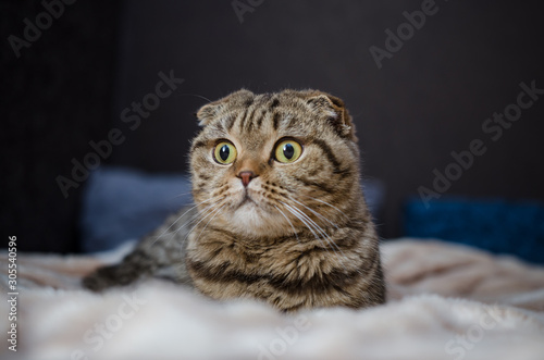 Cute funny cat lying on bed at home. Scottish fold cat