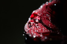 Red Rose Flower With Droplets On It. Love And Romance Concept. Copy Space For Design And Decoration. Flower On Black Background.