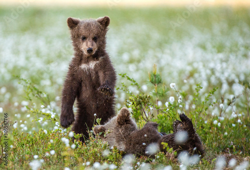 Photo  Bear Cub stands on its hind legs