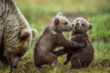 She-bear And Playfull Bear Cub...