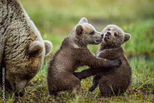 Photo She-bear and playfull bear cubs