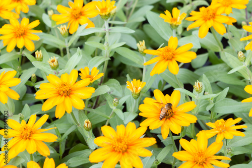 Tithonia diversifolia yellow flowers in the garden. Wallpaper Mural