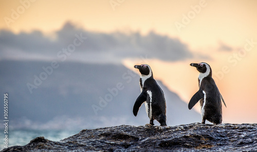 The African penguins on the stony shore in twilight evening with sunset sky Canvas Print