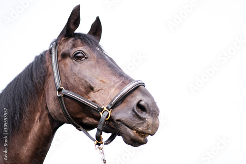 Portrait of a beautiful well-groomed dark horse on a white background Fototapete