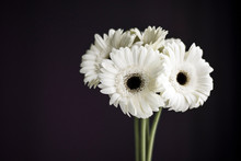 Bouquet Of White Gerbera Daisies On A Black Background