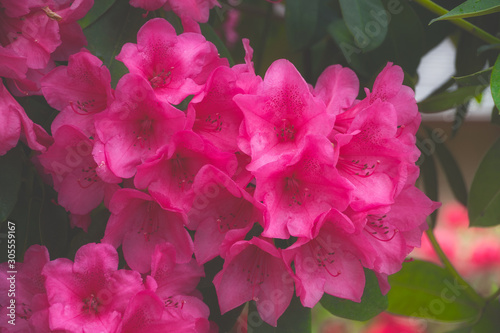 2019-05 14 Red Rhododendron in the Morning Fog