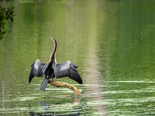 Anhinga perched on a branch and drying in the sun Canvas Print