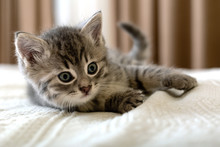 Cute Tabby Kitten Lies On Whit...