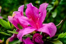 Closeup Shot Of A Beautiful Pink-petaled Flower On A Blurred Background In Pinglin Village, Taiwan
