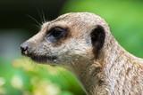 Fototapeta Zwierzęta - Portret surykatki w ZOO